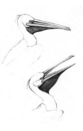 Pelikan-Skizze